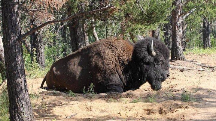 University of Saskatchewan awarded $6.8M for bison conservation research